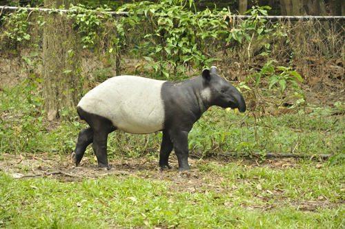 cheprachnyj-tapir
