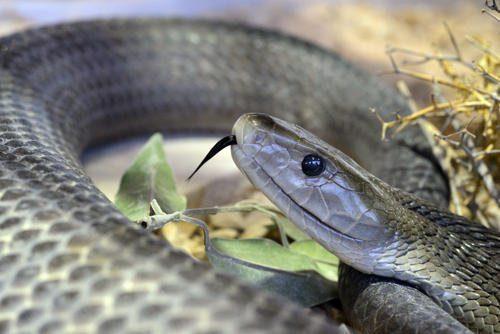 Какая змея самая ядовитая на Земле - фото и описание опаснейших змей планеты 4
