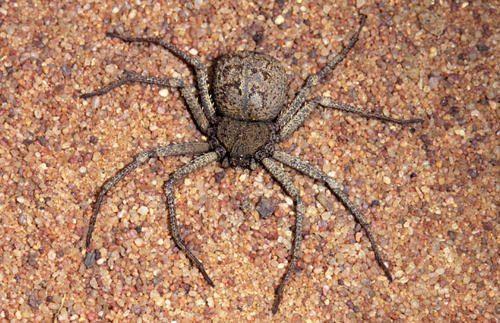 Какой паук самый ядовитый на Земле - фото и описание опаснейших видов пауков 5