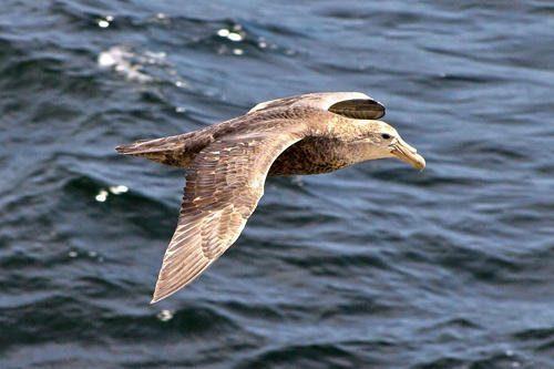 Морские птицы: описание, представители и фото 3