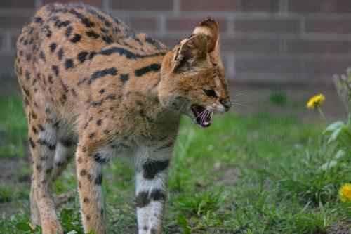 agressivnyj-serval