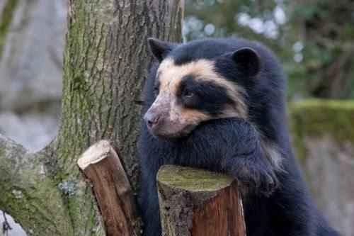 andskij-ili-ochkovyj-medved