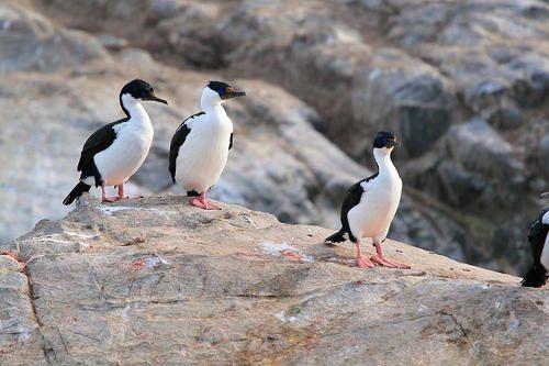 antarkticheskij-sineglazyj-baklan