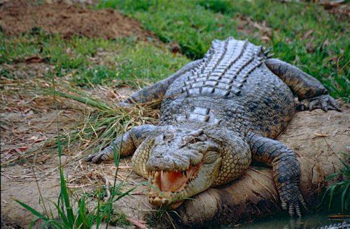 grebnistyj-krokodil