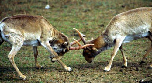 draka-antilop-sajga