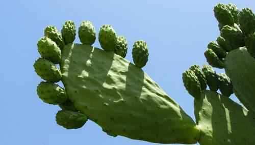 kaktus-v-pustyne