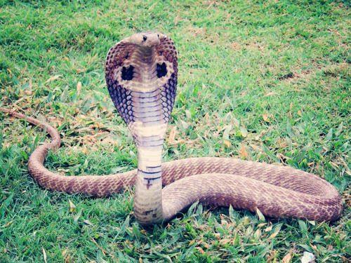 Какая змея самая длинная на Земле - фото и описание 8