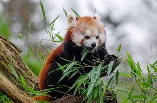 krasnaja-panda