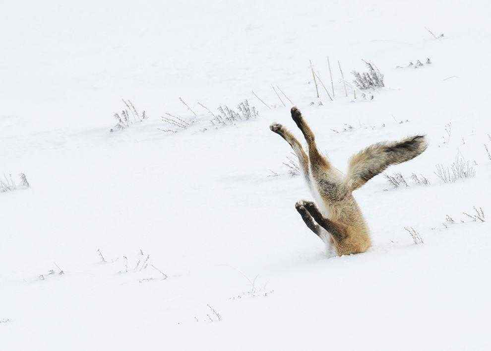 lisa-golovoj-v-snegu