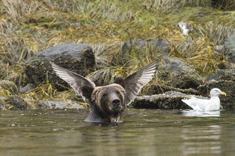 medved-s-kryljami