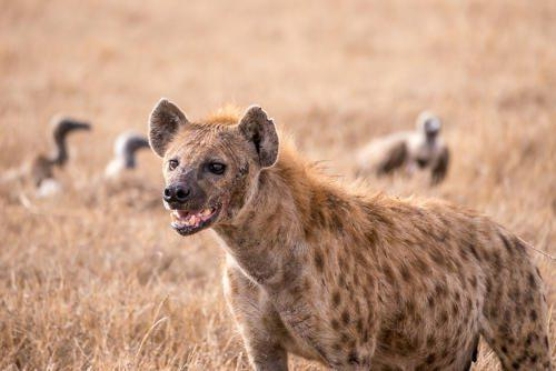 Основные семейства млекопитающих хищников 3