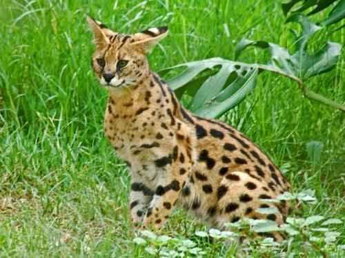 serval-v-trave