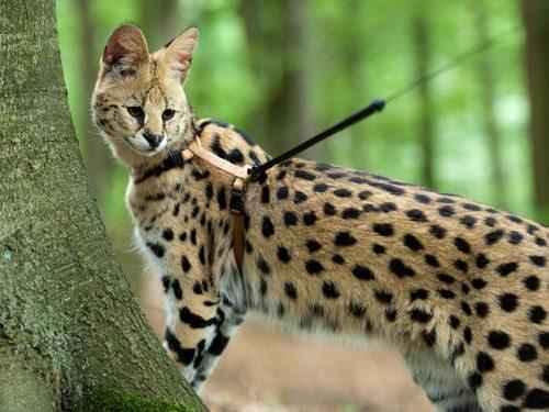 serval-na-povodke