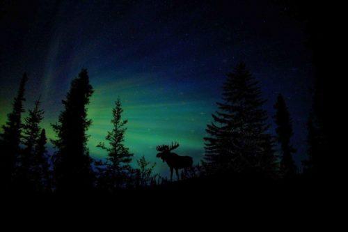 силуэт, лось, деревья, ночь, звезды, северное сияние