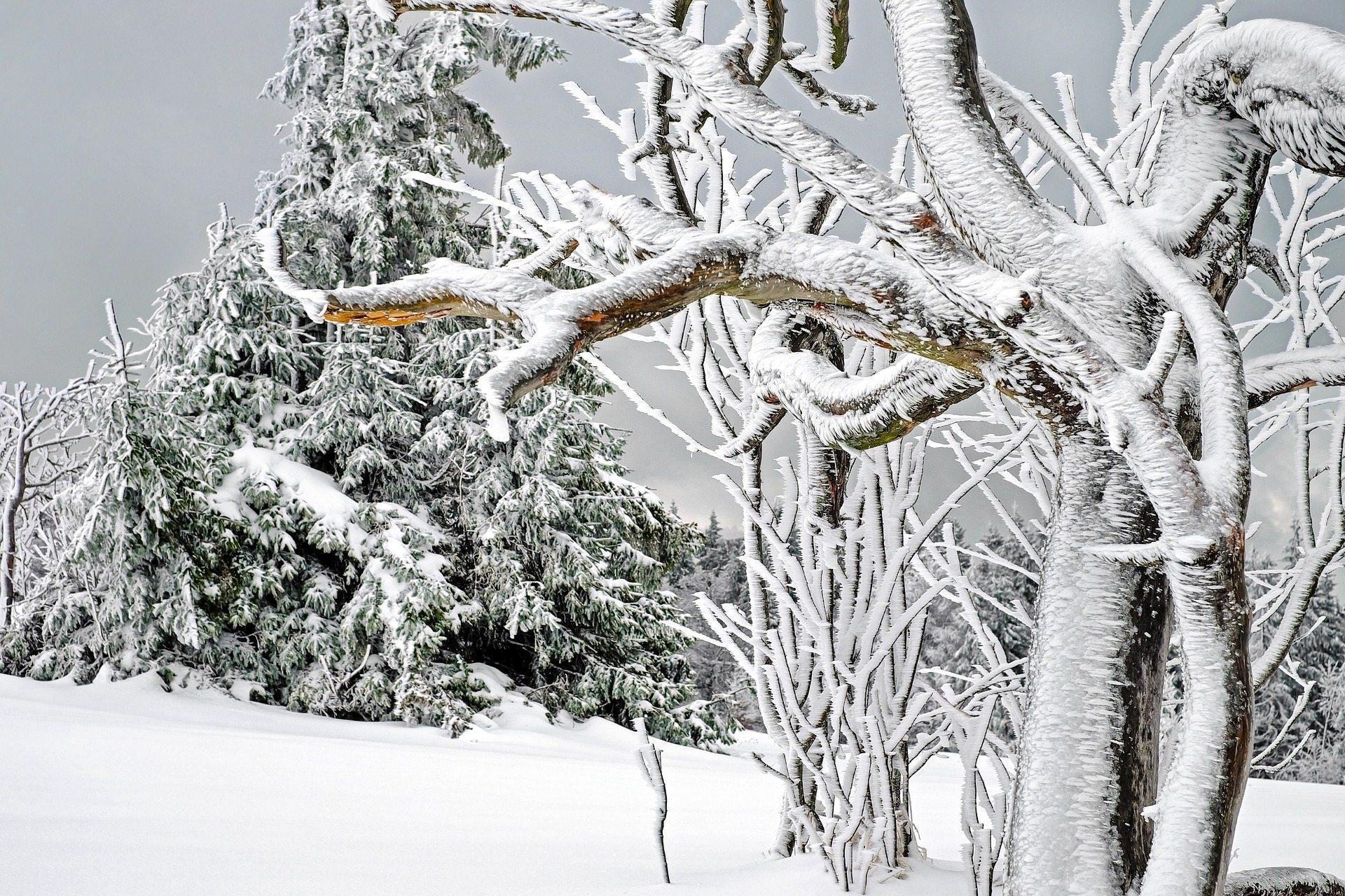 деревья, снег, зима,