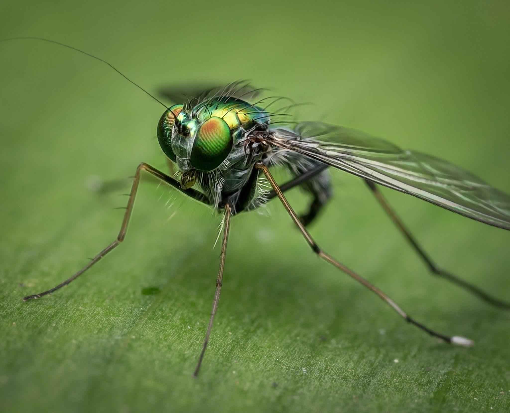 зеленая муха, глаза, лапы, крылья, насекомое, крупным планом, макросъемка