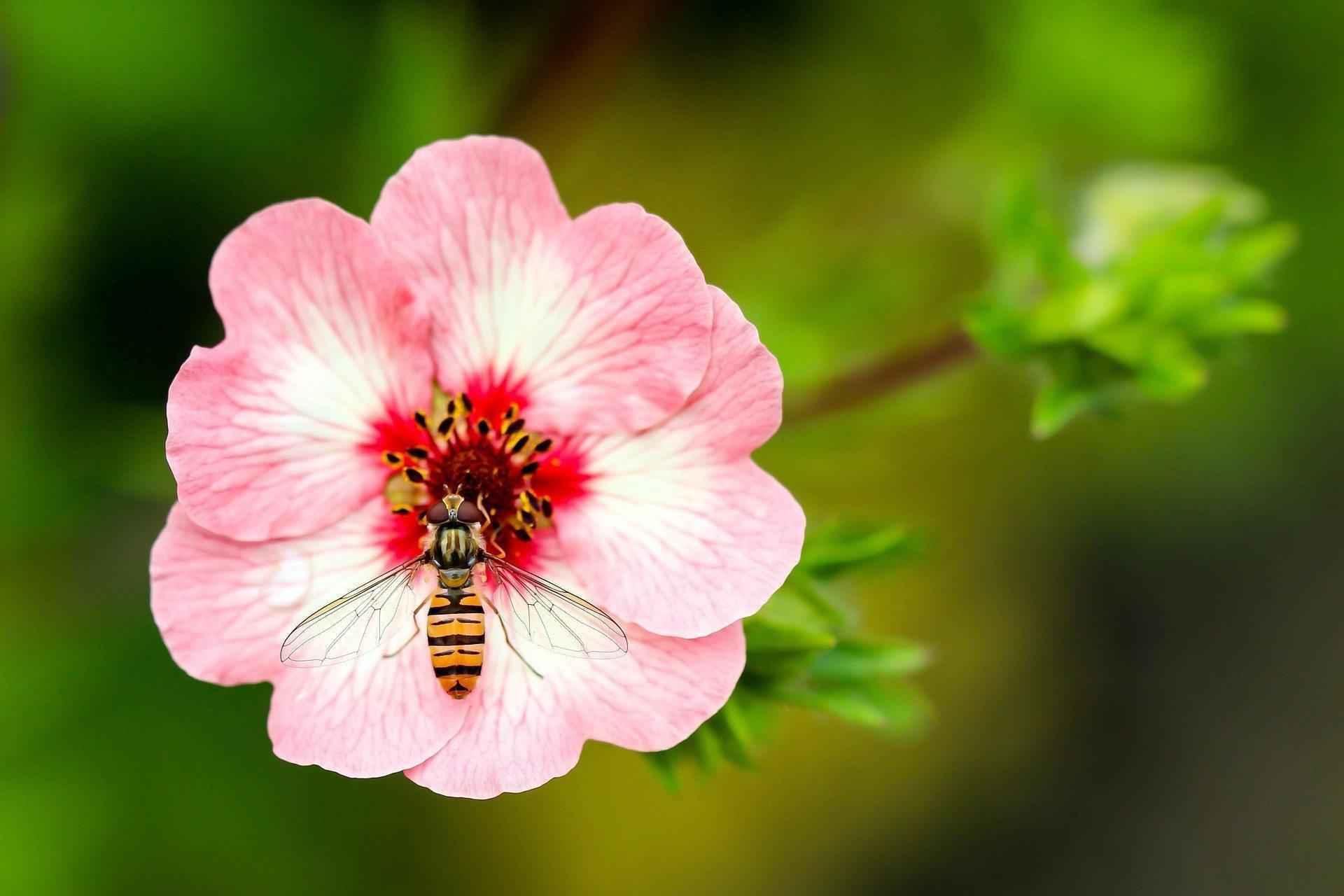 оса, цветок, насекомые, растения, макросъемка, крупным планом