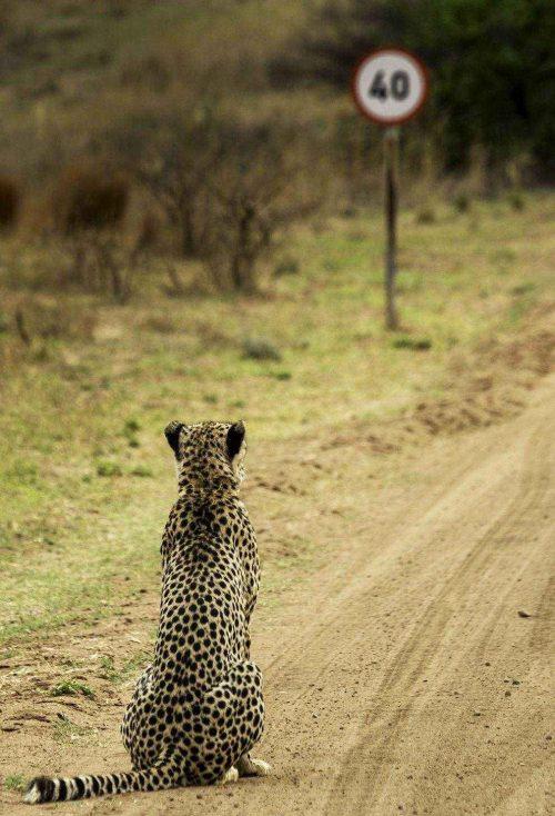 40-km-dlja-geparda