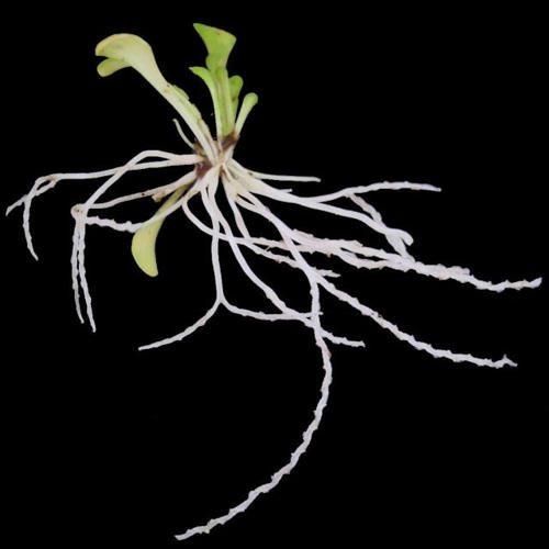 Плотоядные растения - виды, названия, питание, описание и фото 8