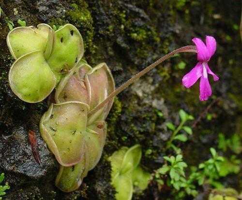 Плотоядные растения - виды, названия, питание, описание и фото 7