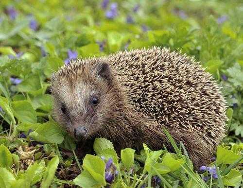 Животный мир Европы - список, названия, характеристика и фото 12