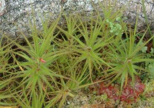 Плотоядные растения - виды, названия, питание, описание и фото 6
