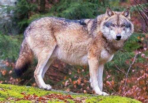 Животный мир Европы - список, названия, характеристика и фото 15