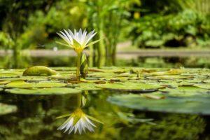 растение, флора, белая кувшинка, белая водяная лилия, природа, вода, пруд, стрекоза, зелень