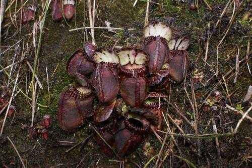 Плотоядные растения - виды, названия, питание, описание и фото 11