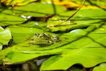 лягушка, загорает, растение, флора и фауна, белая кувшинка, белая водяная лилия, листья, природа, вода, пруд, зелень