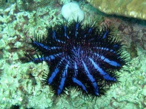 morskaja-zvezda-ternovyj-venec