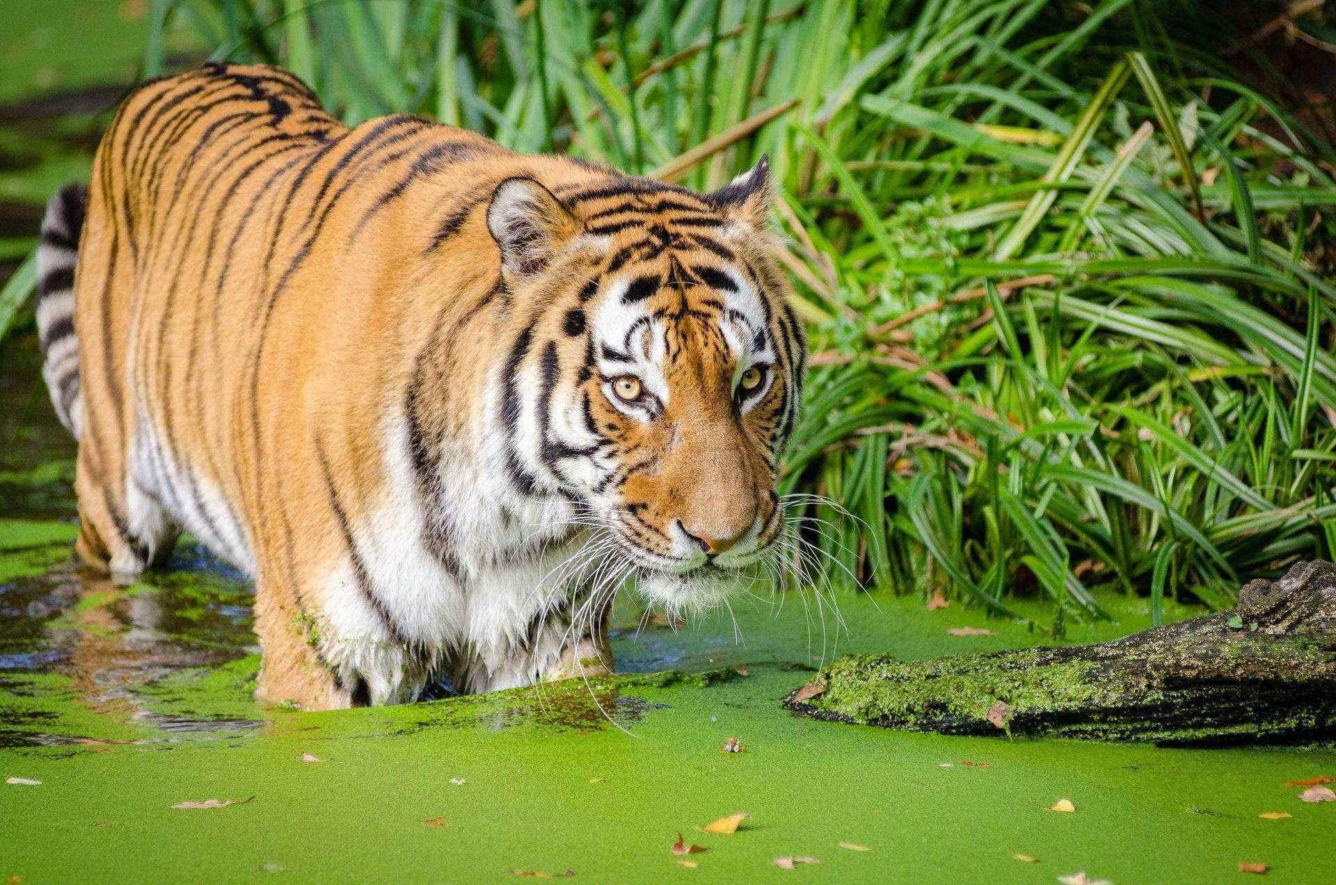 тигр, вода, болото, ряска, трава, заросли, большая кошка, хищник