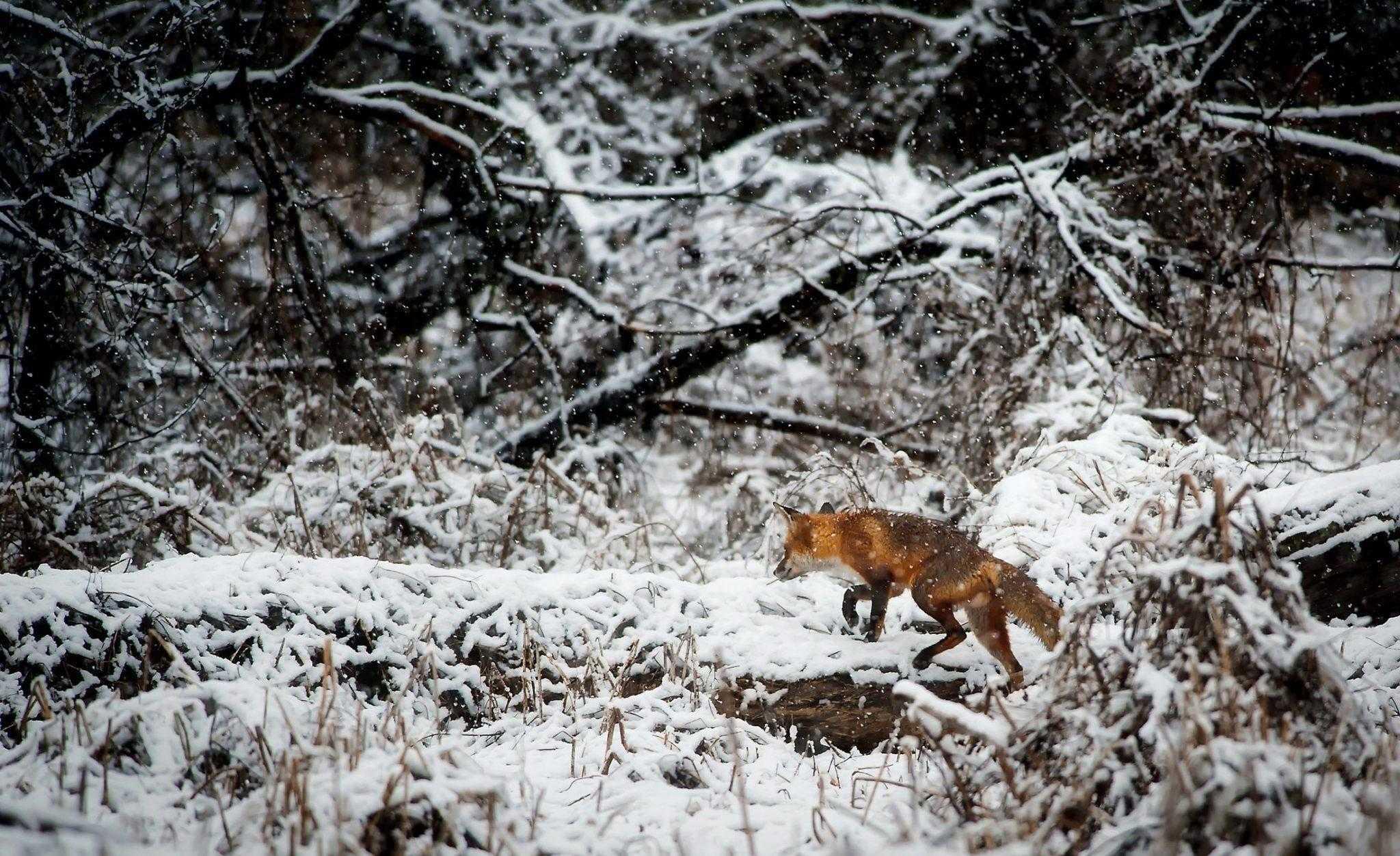 лиса, лес, зима, снег, охота