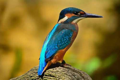 птица, зимородок, фауна, животные, природа