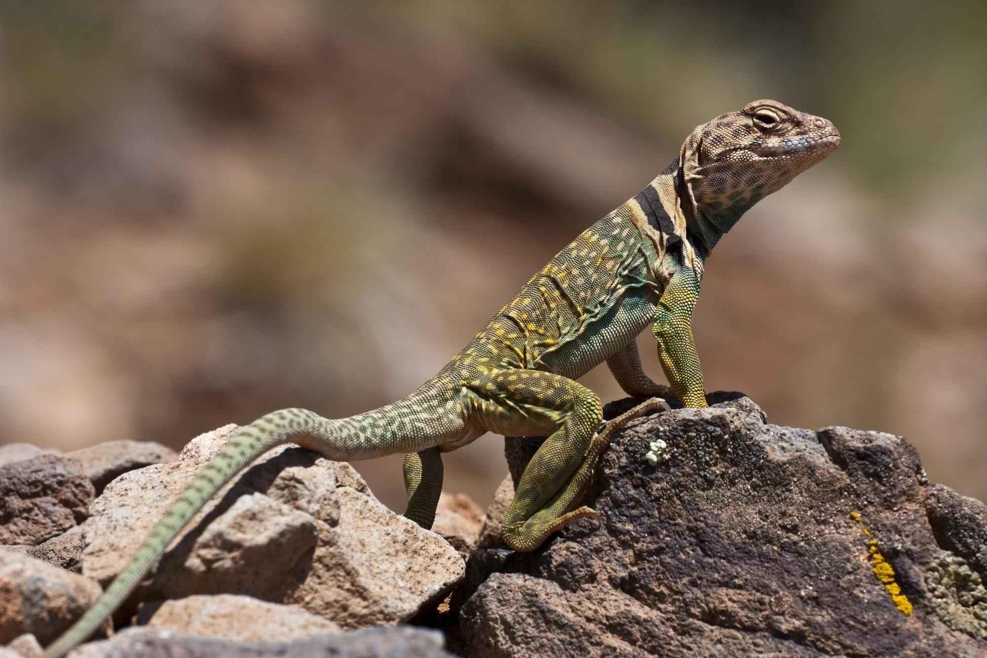 Ошейниковая пустынная игуана, ящерица, камень, рептилия, фауна, природа