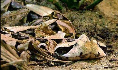 Животные, которые маскируются под листья растений 4