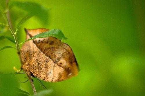 Животные, которые маскируются под листья растений 3