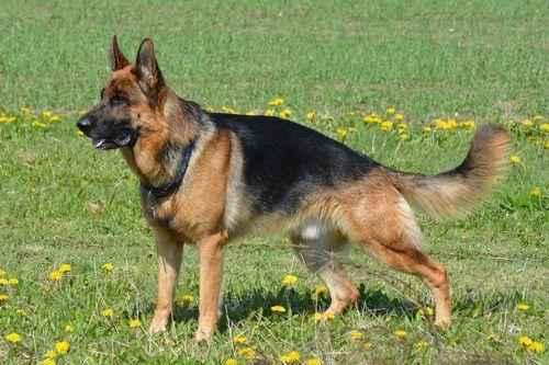 Самые лучшие сторожевые собаки 8