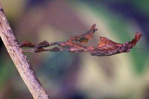 Животные, которые маскируются под листья растений 2