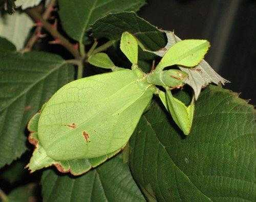 Животные, которые маскируются под листья растений 7