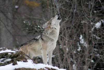 волк, одиночка, вой, воющий, животные, фауна, хищник, снег, природа