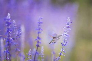 колибри, птица, цветы, флора и фауна, в полете, нектар, природа