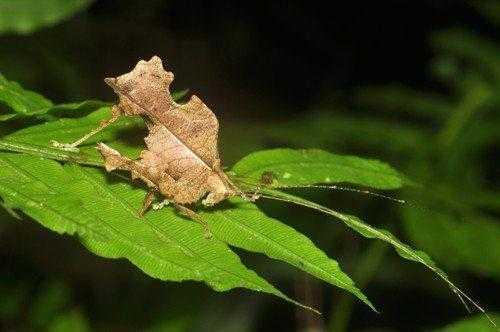 Животные, которые маскируются под листья растений 8