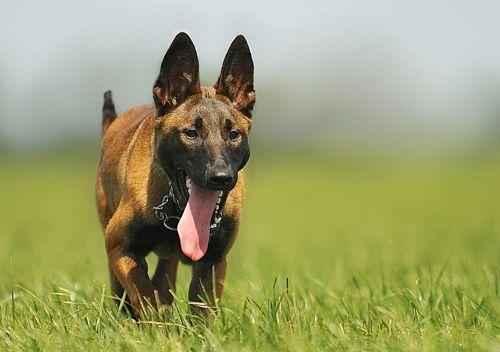 собаки охранных пород