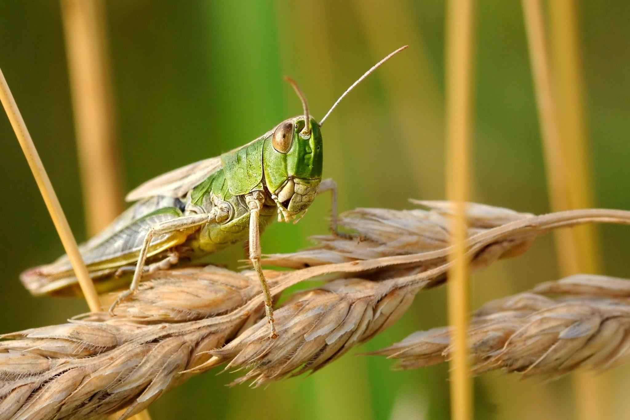 саранча, насекомое, растения, природа, макросъемка, крупным планом