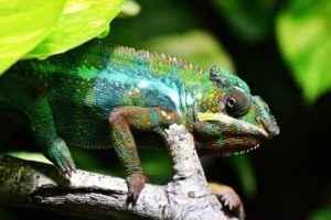 хамелеон, ветка, животные, фауна, флора, природа, ящерица, рептилия