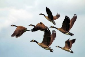 дикие гуси, птицы, животные, фауна, природа, небо, полет, летят,