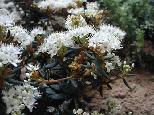 Растительный мир Новосибирской области - список, характеристика и фото 5