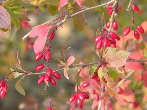 Редкие растения из Красной книги Забайкальского края — список, характеристика и фото 5