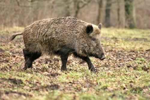 Животный мир России - список, виды, названия, описание и фото 7